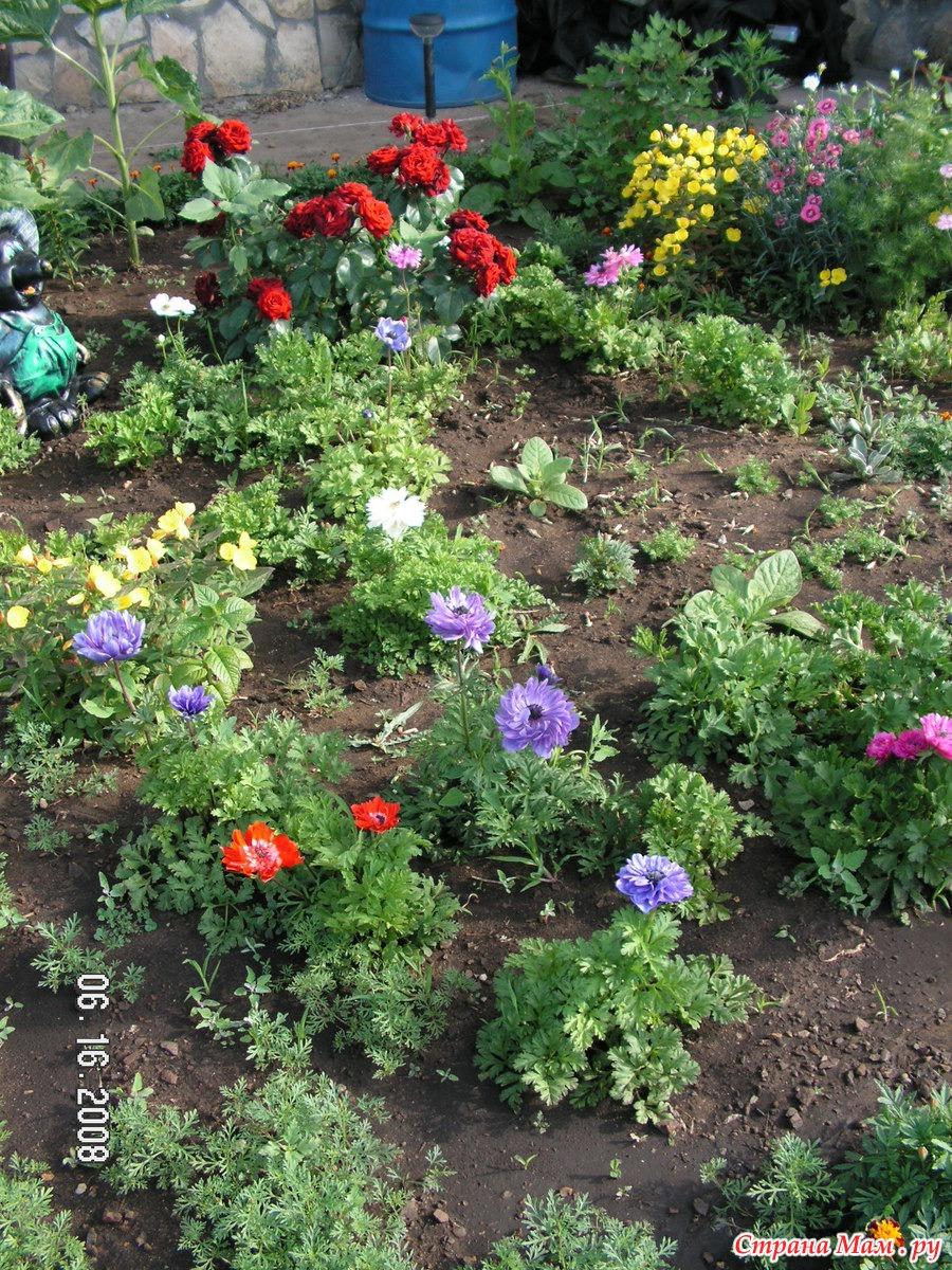 Анемона корончатая: проращивание, посадка и уход 35