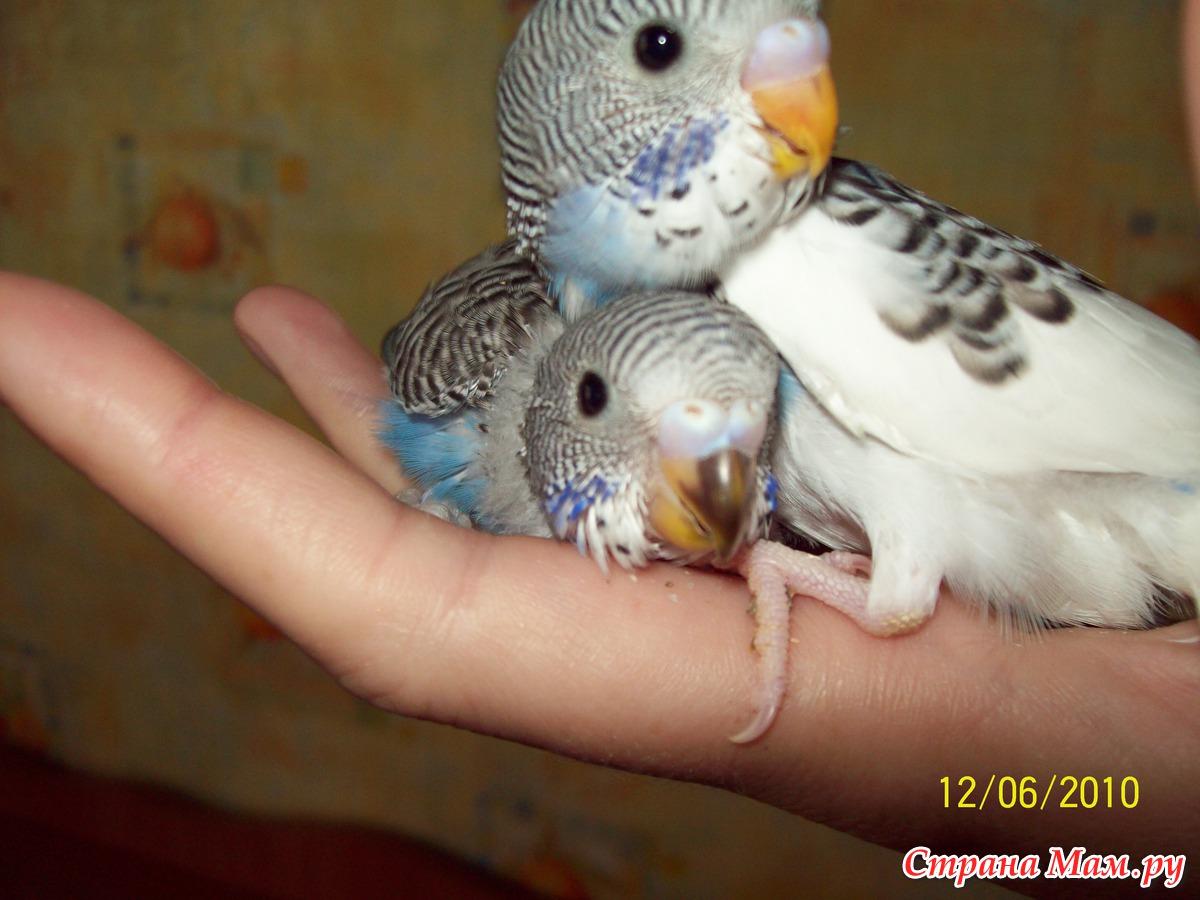 Как понять что попугай неразлучник беременный