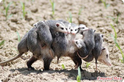 Сумчатые - удивительные животные - Страна Мам