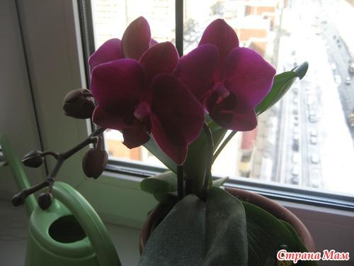Теперь стимулирую орхидею чтобы зацвела вот такая.