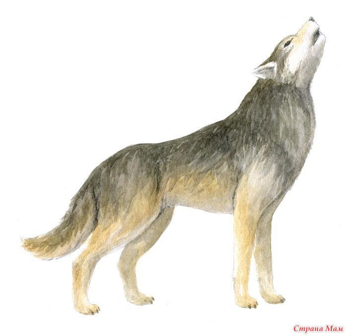 Волк. Подробная схема
