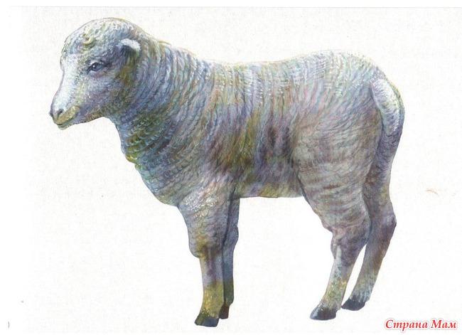 Баран овца ягненок картинки 4