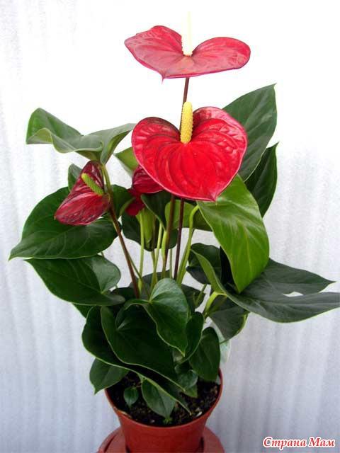 Калерия цветок уход и размножение