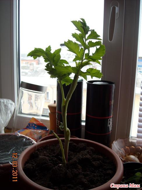 Как вырастить достойную зелень на балконе? - сад, огород - с.