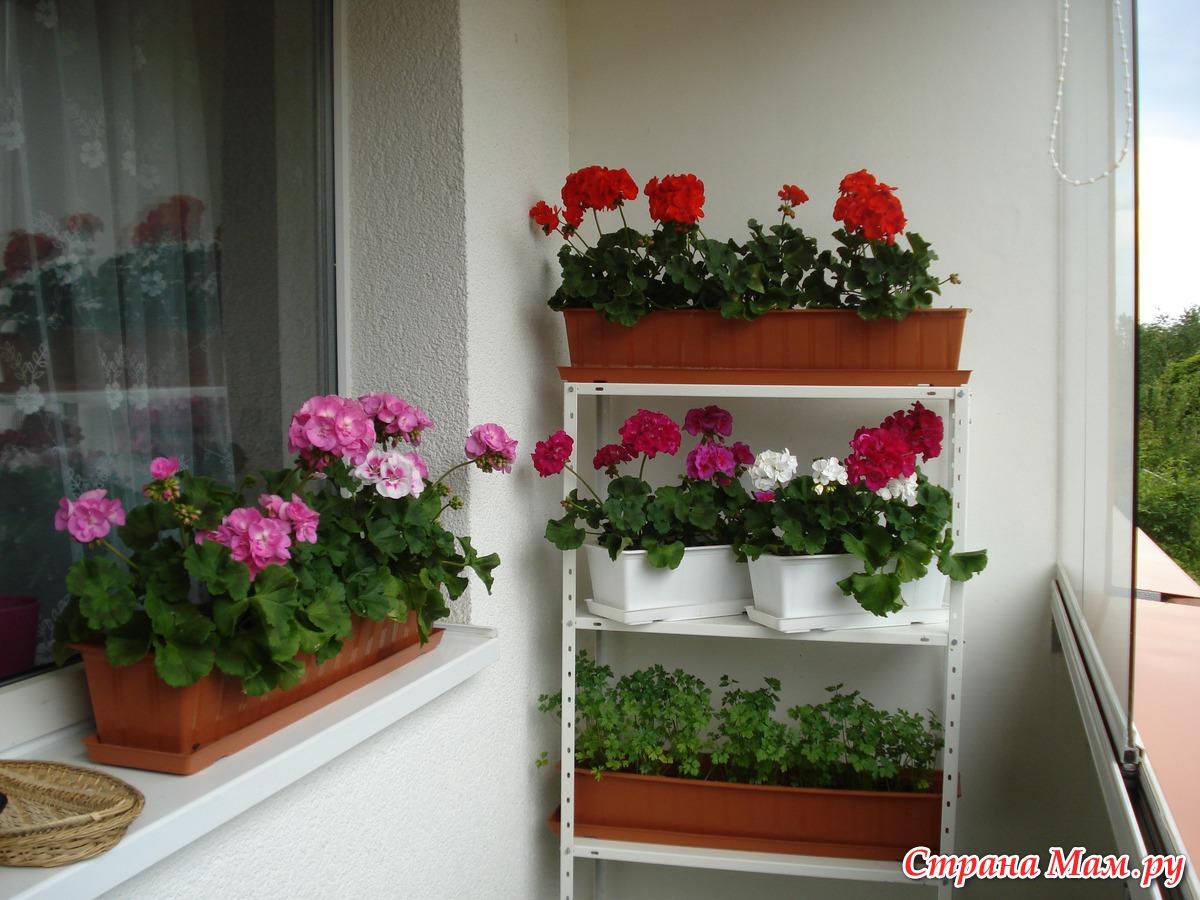 Пеларгония ампельная выращивание и уход в домашних условиях.