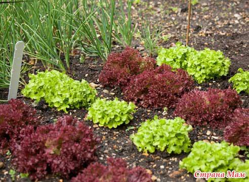 Фото салатов с грядки