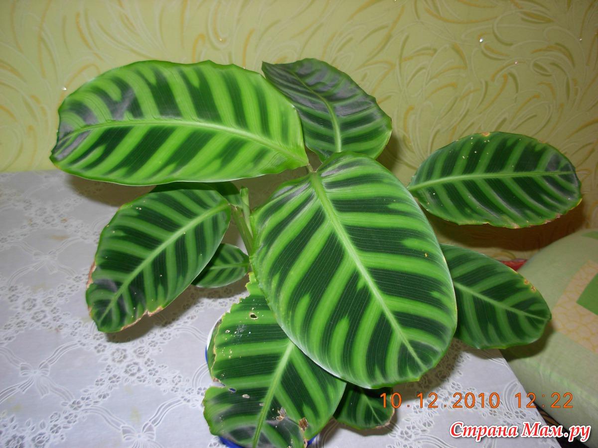 Фото и название всех комнатных цветов с полосатыми листьями