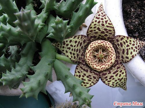 Кактус с большими цветами название фото