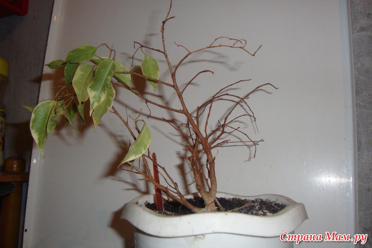 Почему сохнут и желтеют листья у фикуса 6