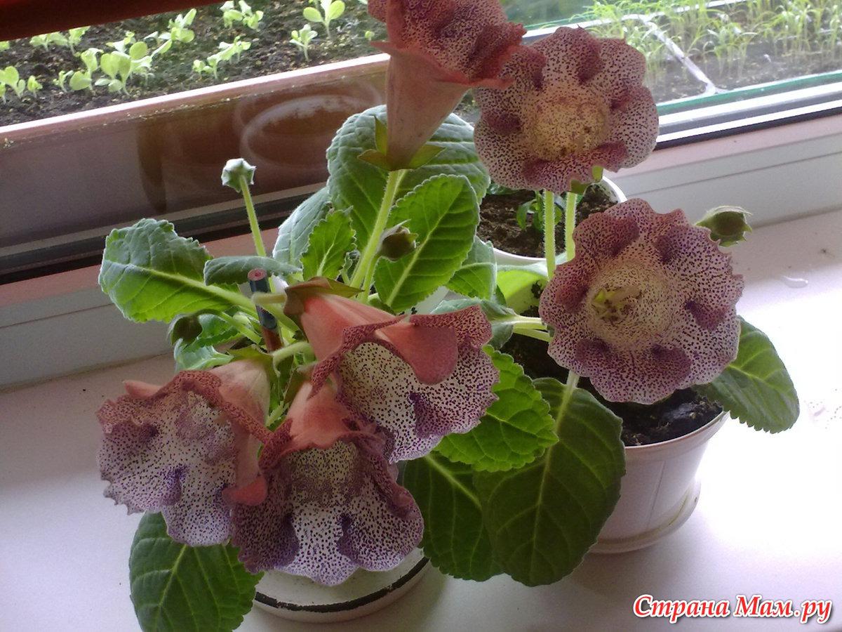 Глоксиния семена в домашних условия фото