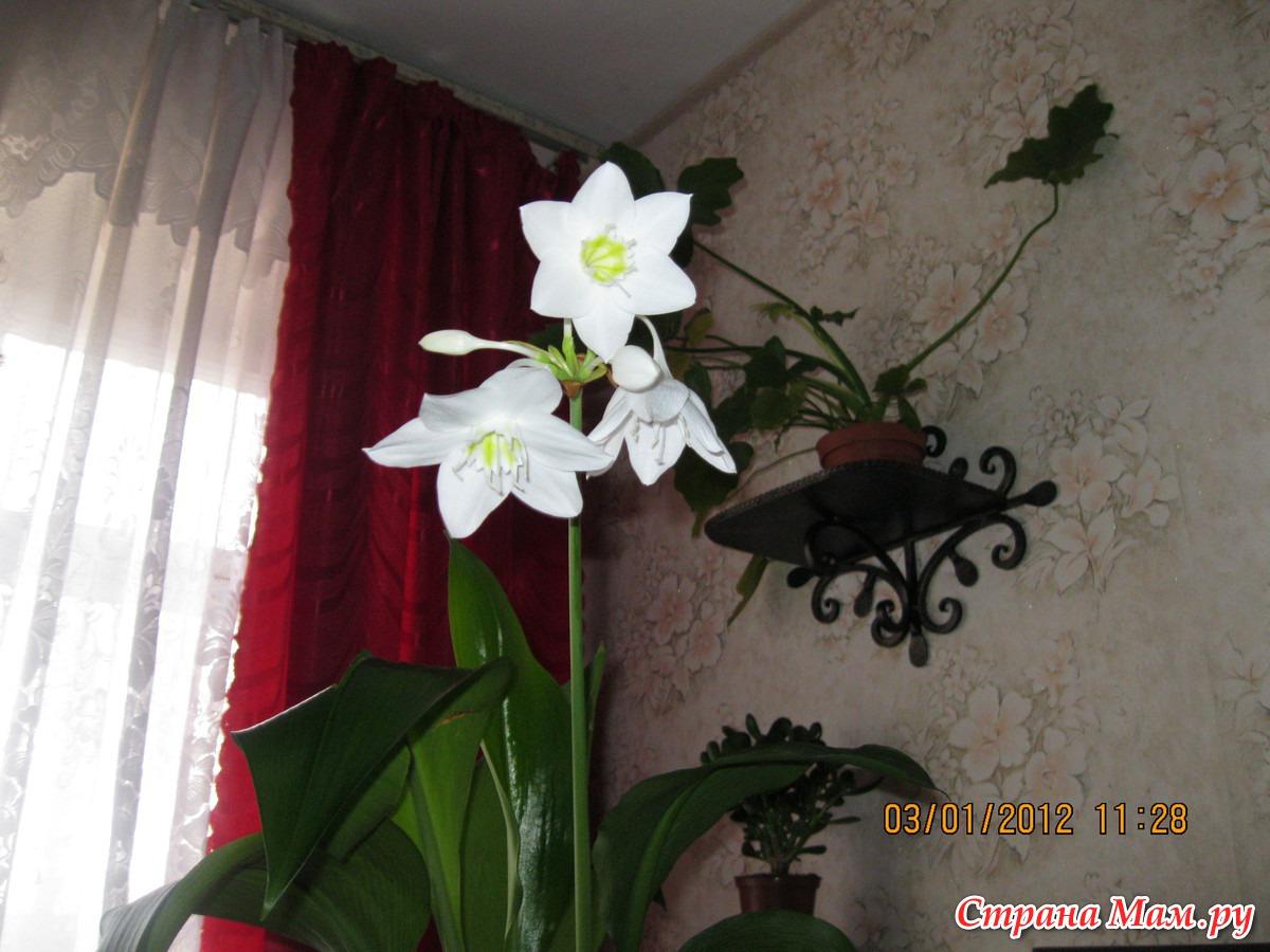 Комнатный цветок эухарис: фото, описание и уход в домашних 49