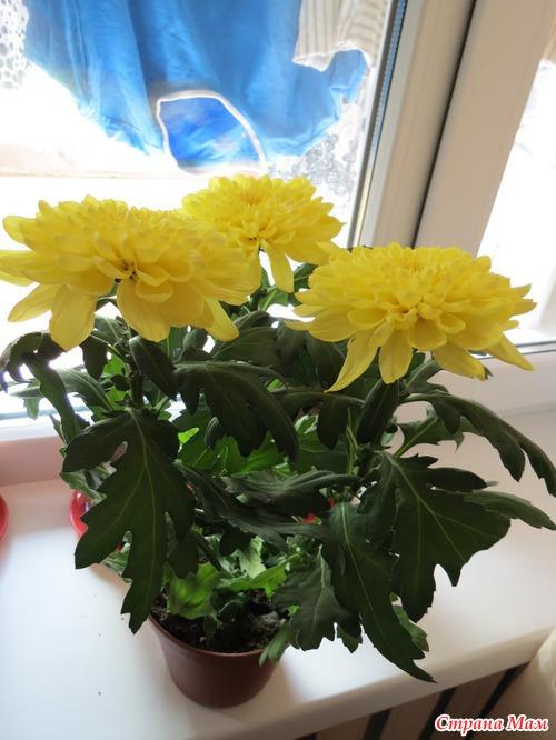 Хризантемы в домашних условиях