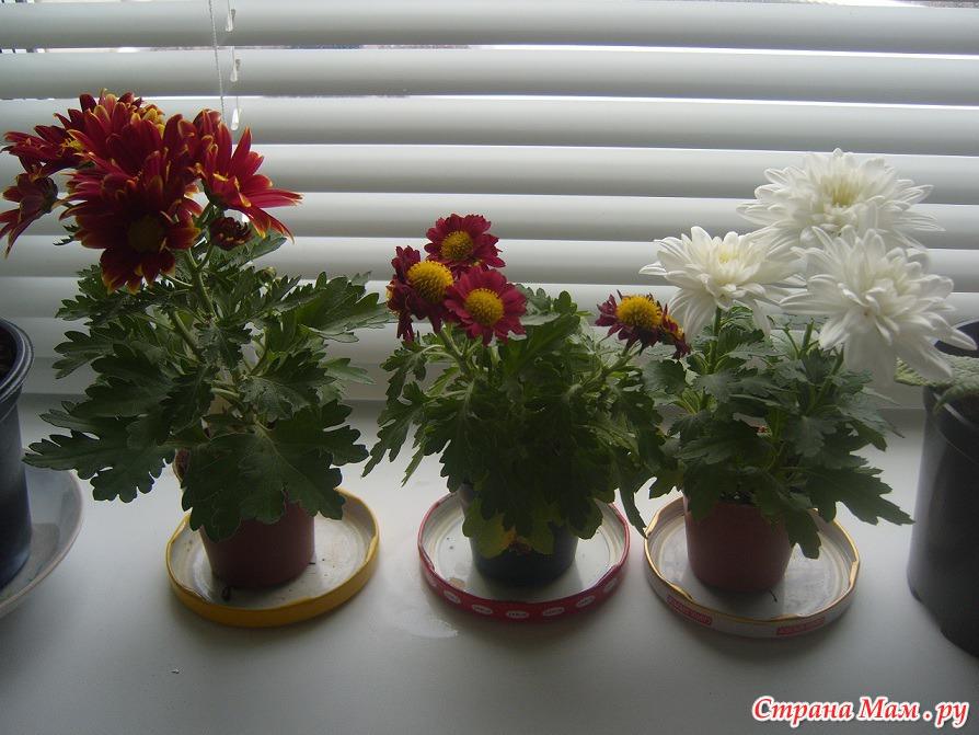 Все о хризантемах домашних условиях 650