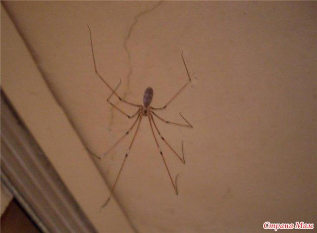 фото паук сенокосец
