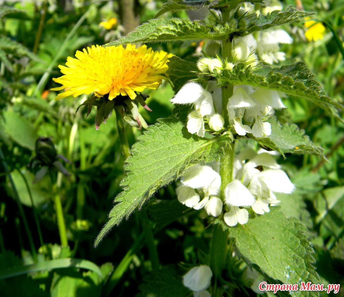 цветущая крапива