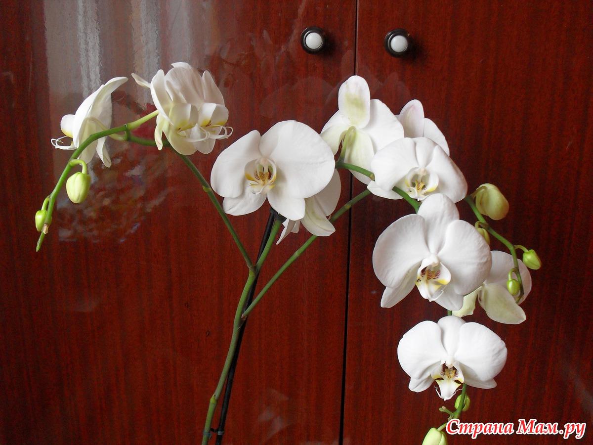 Что делать, чтобы зацвела орхидея Цветы орхидеи 66