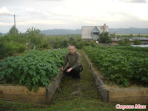 Способы посадки картофеля.