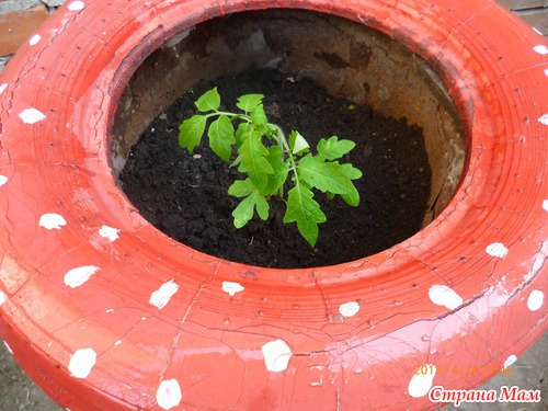 В такую емкость лучше сажать один кустик высокорослых томатов , так как они более продуктивны .