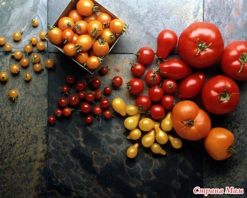 сорт помидор синьор помидор