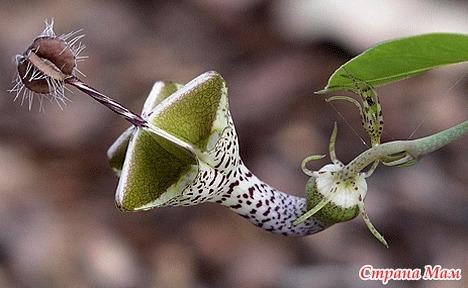 Цветок змеиный