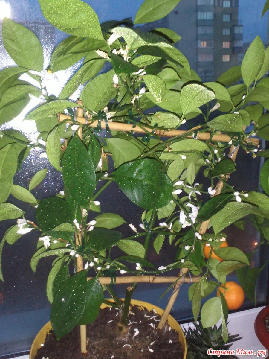 Каламондин или цитрофортунелла домашний мандарин