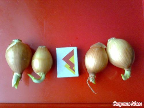 История о зелёном луке или как сэкономить место на подоконнике.