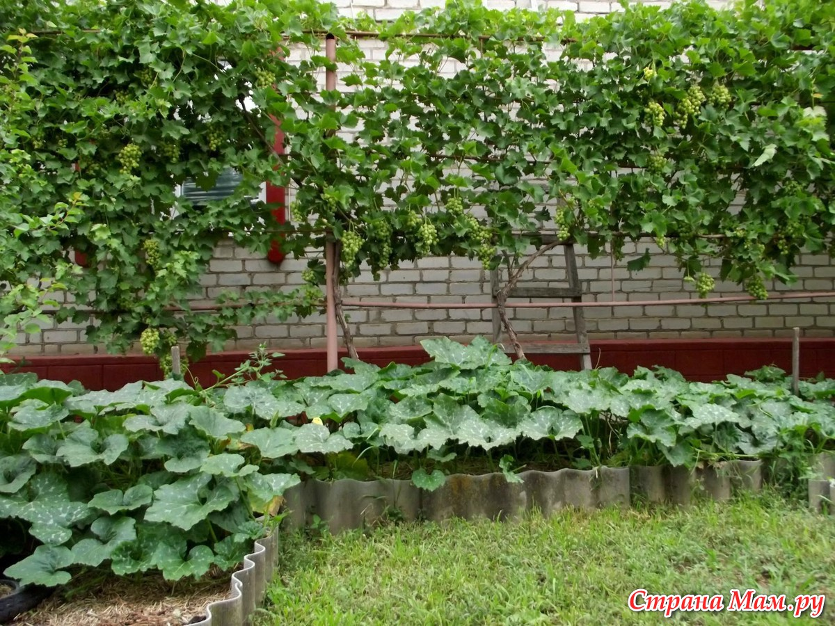 Выращивание огурцов на компостной куче 3
