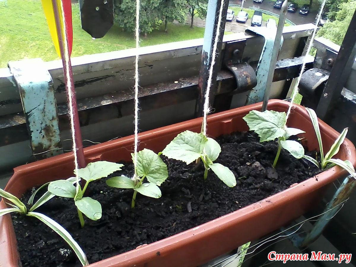 Выращивание огурцов в домашних условиях 41
