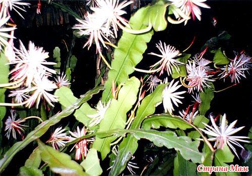 Небесная наги цветок