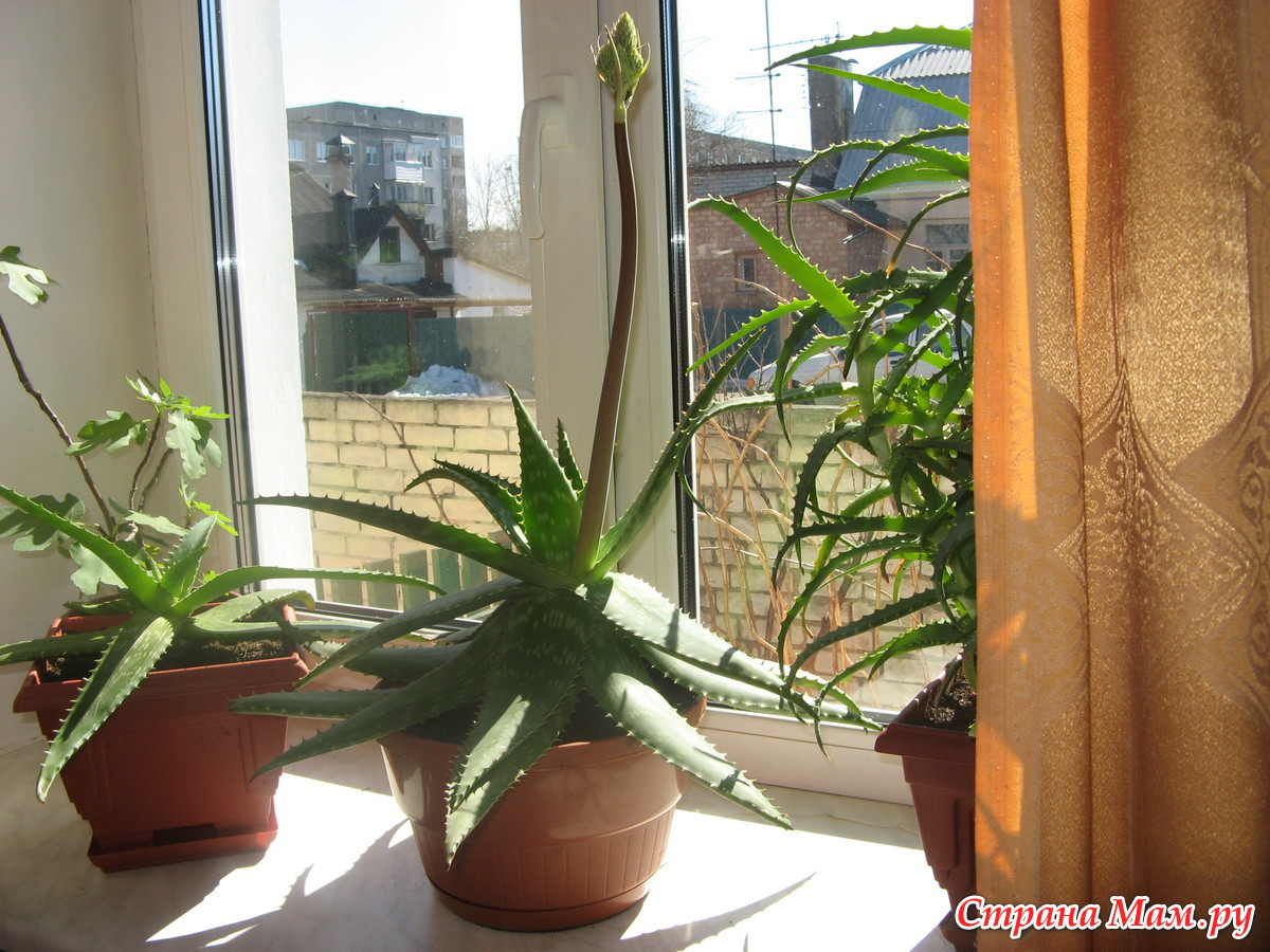 Колючий комнатный цветок фото