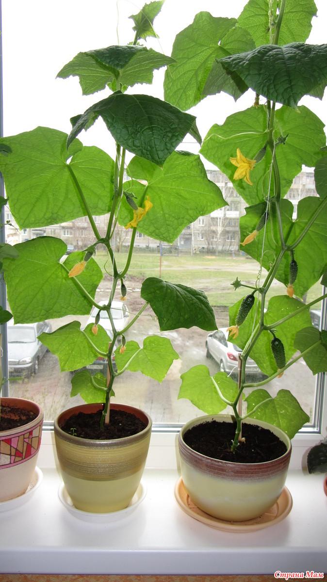 Выращивание огурцов на окне 56