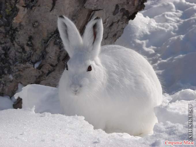 Дикие животные в лесу зима картинки