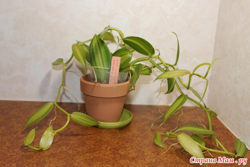 Ванильная орхидея в домашних условиях уход 226