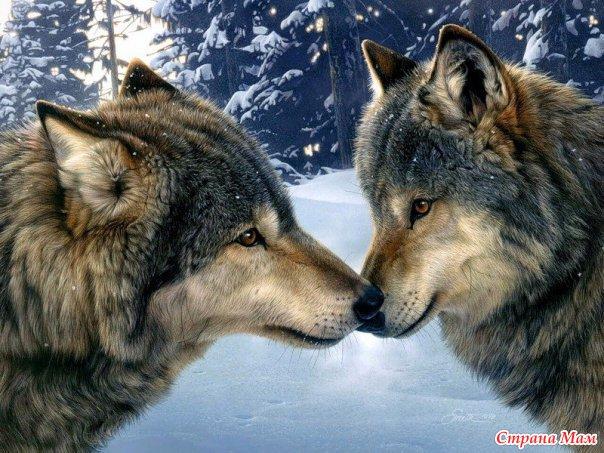 Моя парочка волков