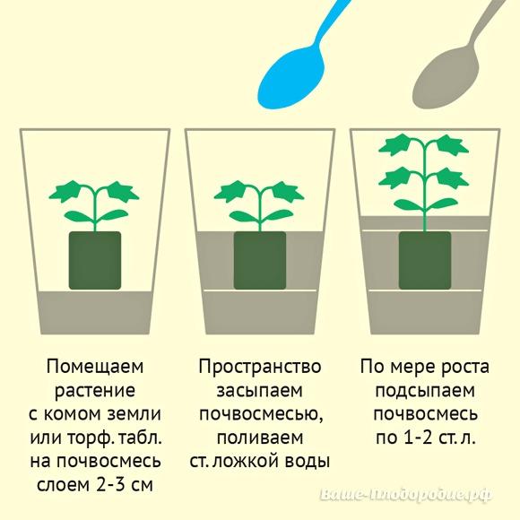 Правильное выращивание здоровой рассады помидор в домашних