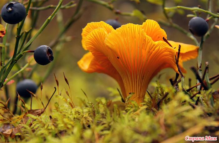 Грибы лисички убивают паразитов » Популярно о здоровье
