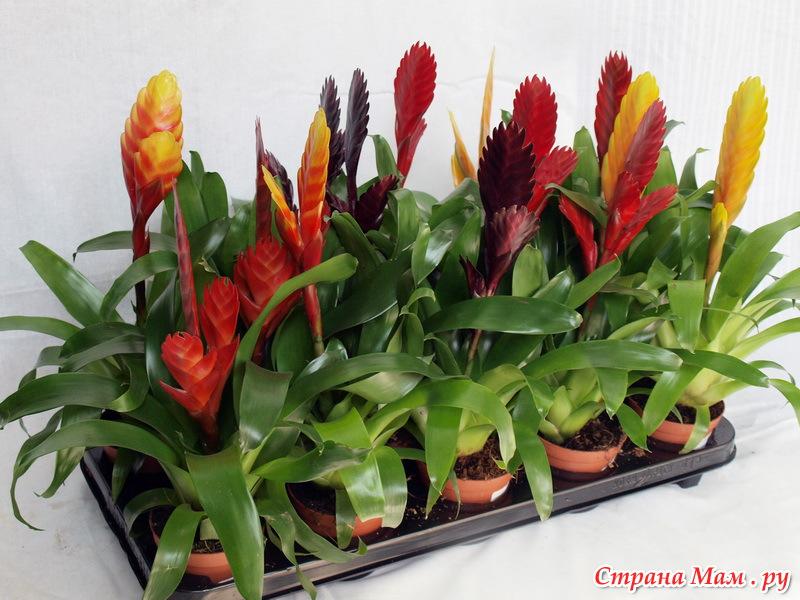 Комнатные растения вриезия