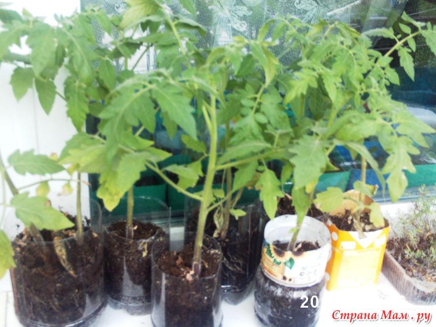 Огород на балконе. второй опыт выращивания. на этот раз перц.