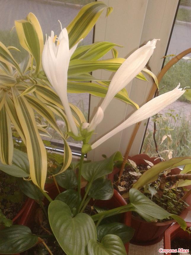 Хоста цветок комнатный