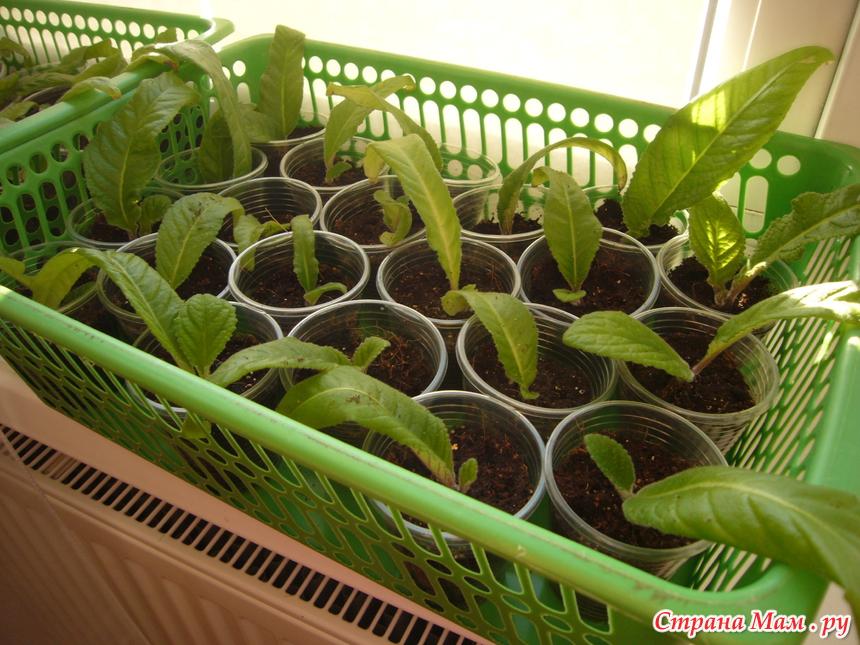 Особенности выращивания стрептокарпусов 41