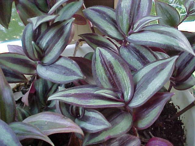 Комнатные растения фото традесканция