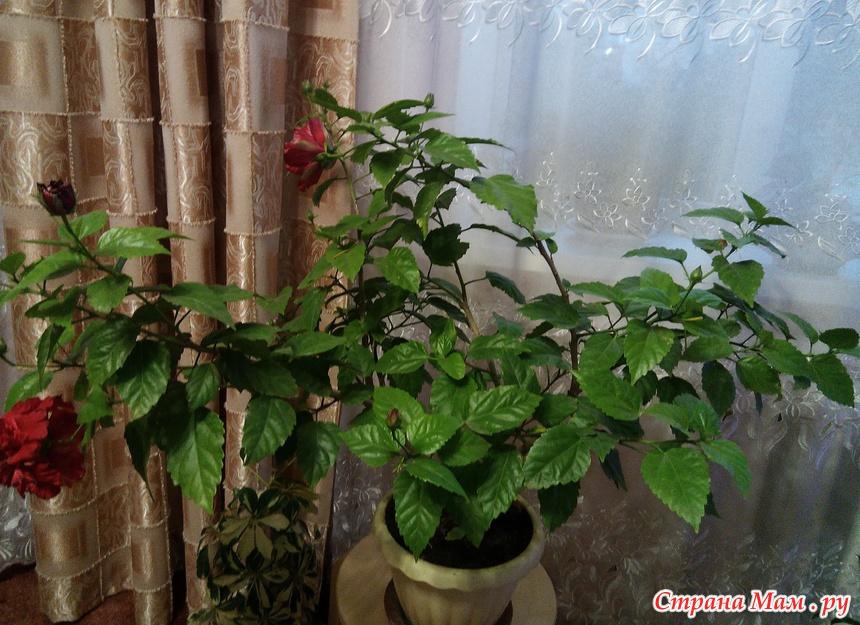 комнатная роза дерево