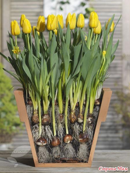 Можно ли сажать тюльпаны осенью в горшки 95