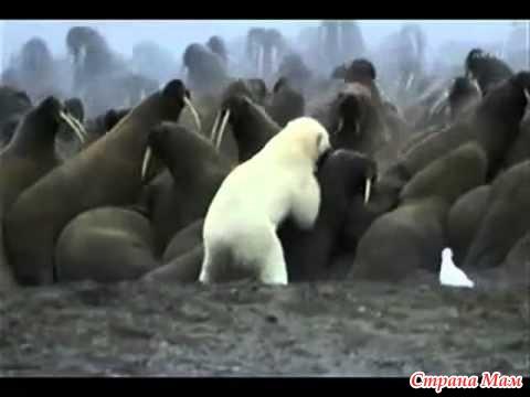 белый медведь охотиться видео