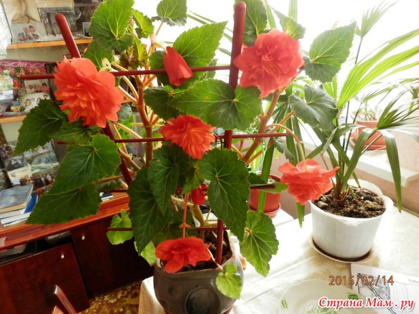 Фото цветка комнатного иван да марья