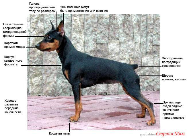 Пропала собака карликовый пинчер (цвергпинчер) санкт-петербург