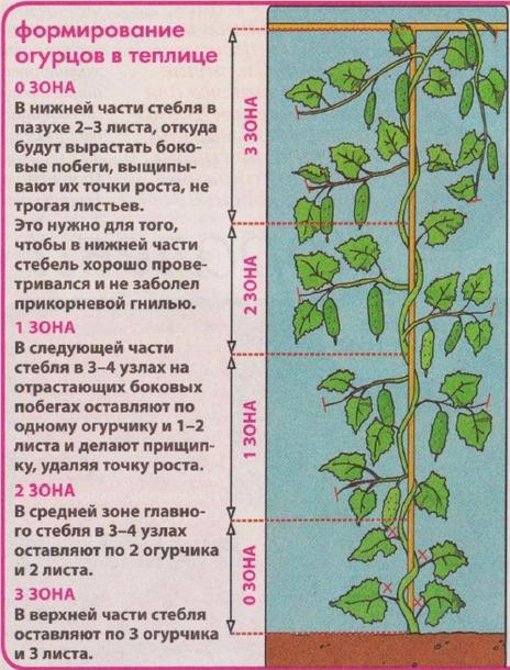 Нижнюю часть стебля полностью