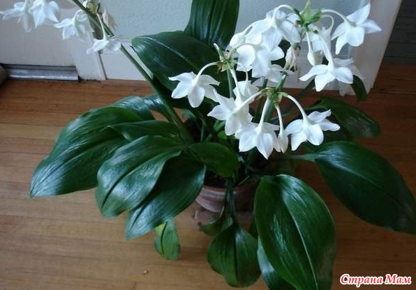 Комнатное растение белые цветы