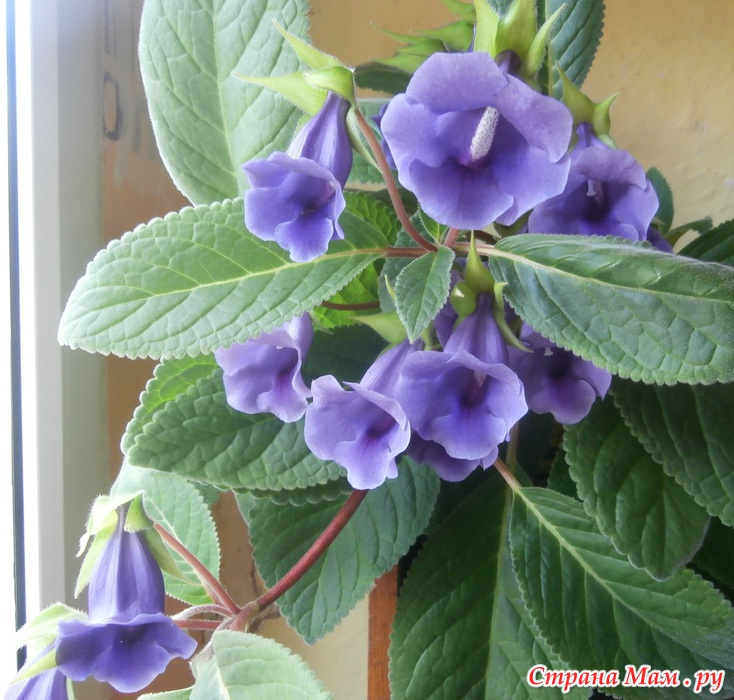 Цветы похожие на глоксинию