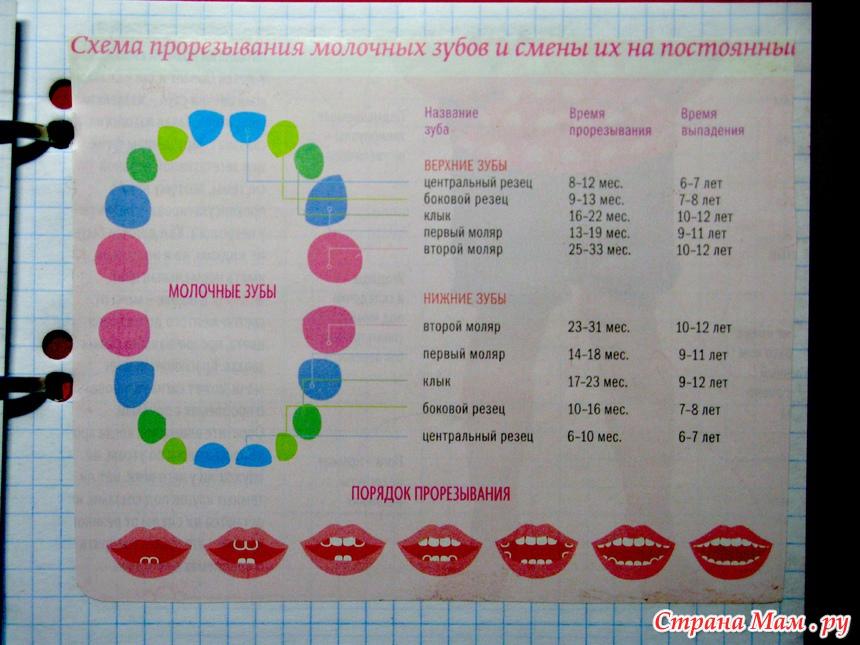 Схема прорезывания молочных
